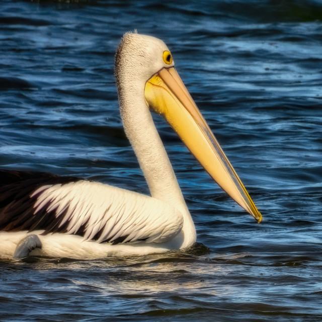 """Pelican Cruising"" stock image"