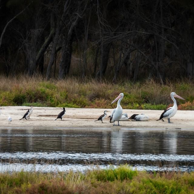 """Pelicans and Cormorants"" stock image"