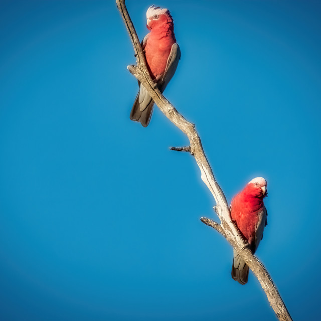 """""""Two Galahs on a Dead Branch"""" stock image"""