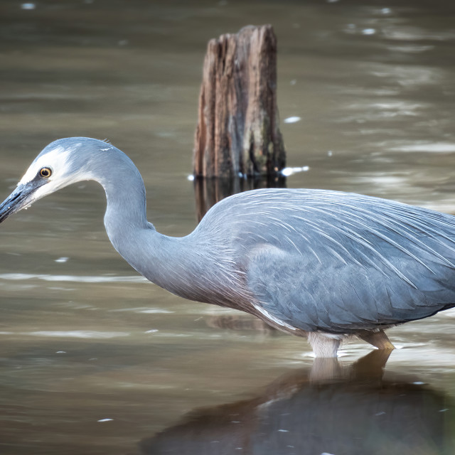 """Heron Fishing"" stock image"