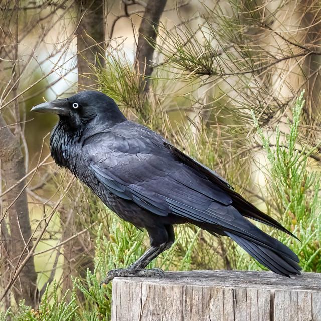"""""""Australian Raven on Tree Stump"""" stock image"""