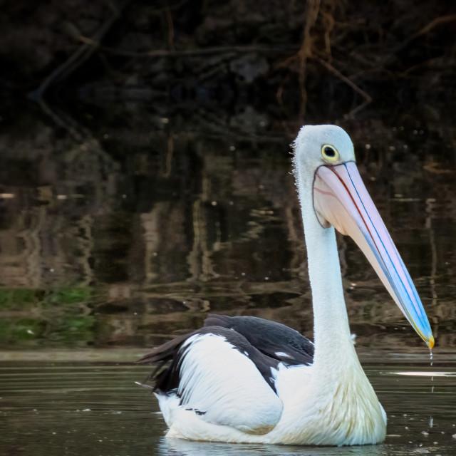 """Pelican Cruising 2"" stock image"