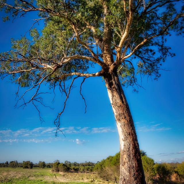 """Old Gum Tree"" stock image"