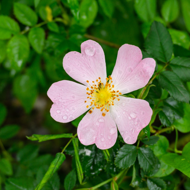 """""""Rosa Canina or dog rose covered by drops of dew"""" stock image"""