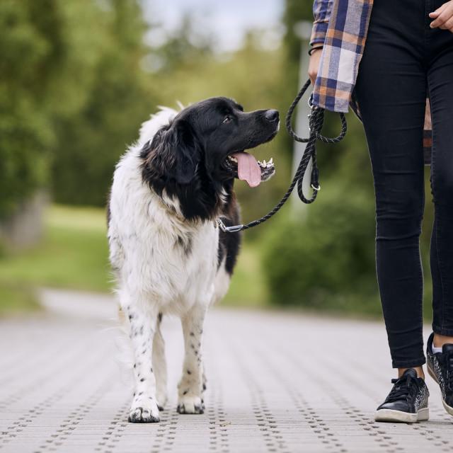 """Happy Czech mountain dog walking on pet leash"" stock image"