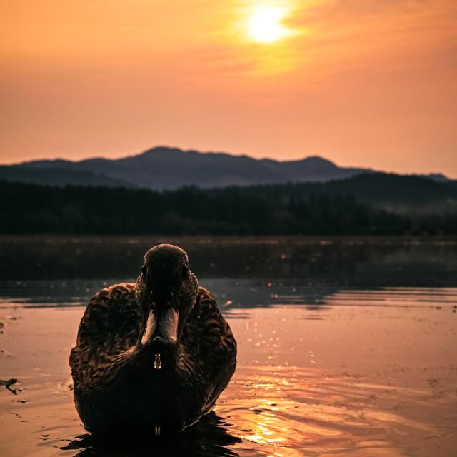 """""""Female duck model"""" stock image"""