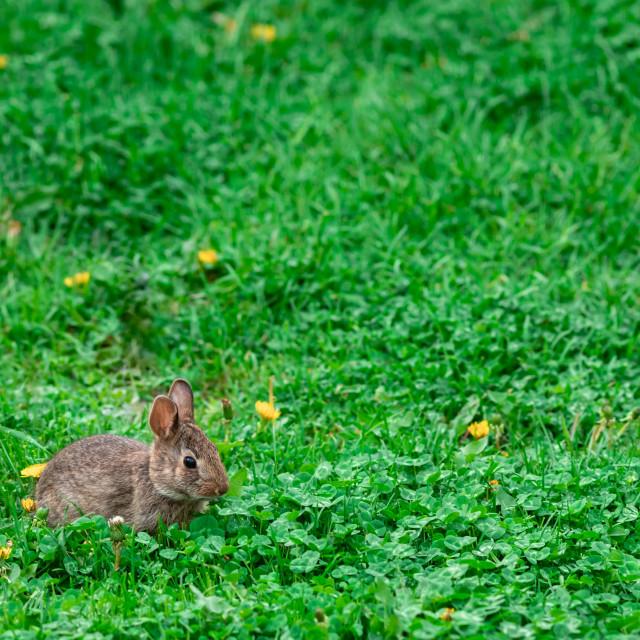 """Baby bunny rabbit resting in field"" stock image"
