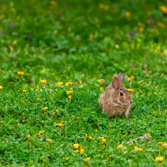 """""""Brown rabbit in spring grass with dandelions"""" stock image"""