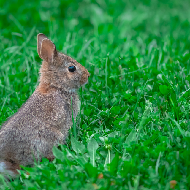 """""""Baby cottontail rabbit sits up in green grass"""" stock image"""