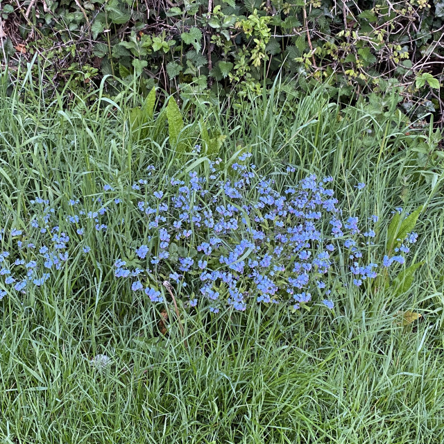 """""""Roadside Forget Me Knots - May 2021"""" stock image"""