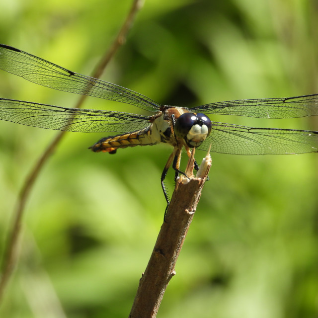 """""""Dragonfly atop"""" stock image"""