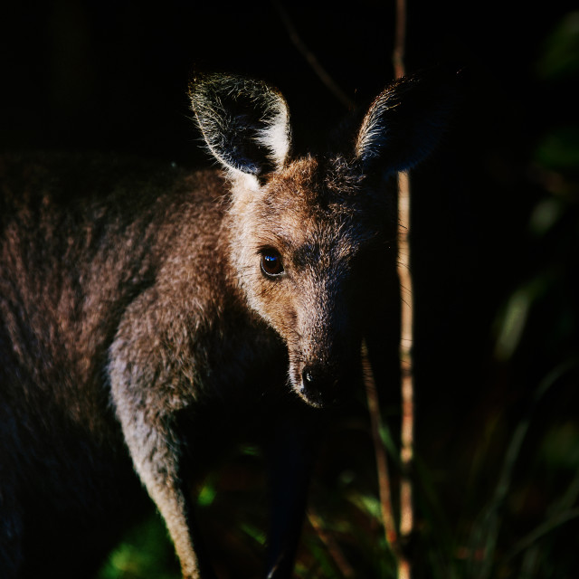 """Kangaroo Way 0319"" stock image"