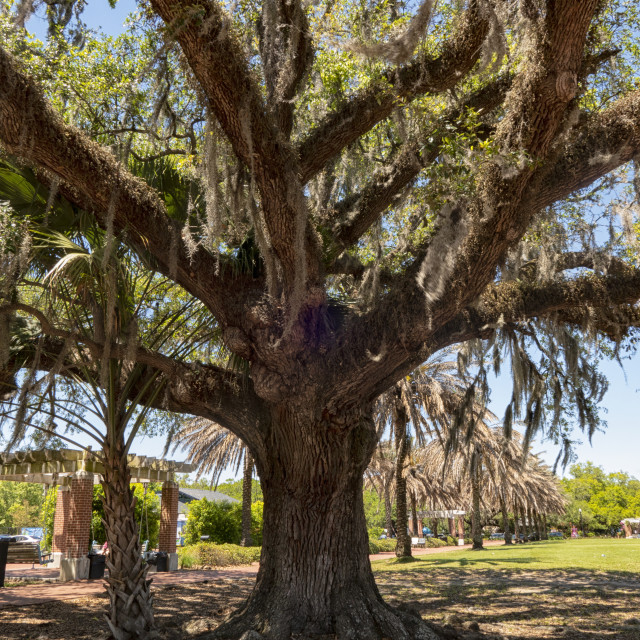 """""""Southern live Oak tree with Spanish moss hanging from branches in Audubon Park, New Orleans, Louisiana, USA"""" stock image"""