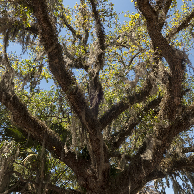 """""""Southern live Oak tree with Spanish moss"""" stock image"""