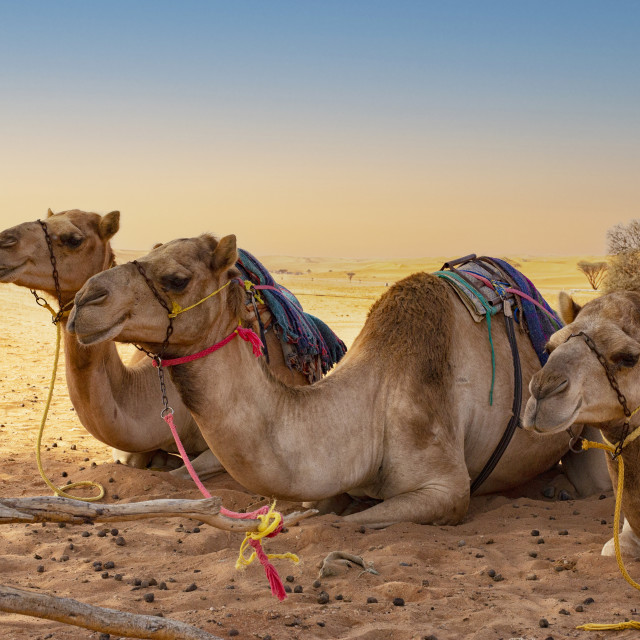 """""""Camels in the desert waiting for tourists"""" stock image"""
