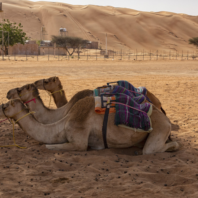"""""""Three camels in the shade"""" stock image"""