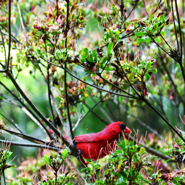 """""""a cardinal in the bush"""" stock image"""