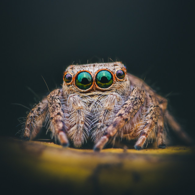 """""""Closeup of a Green-eyed Jumping Spider"""" stock image"""