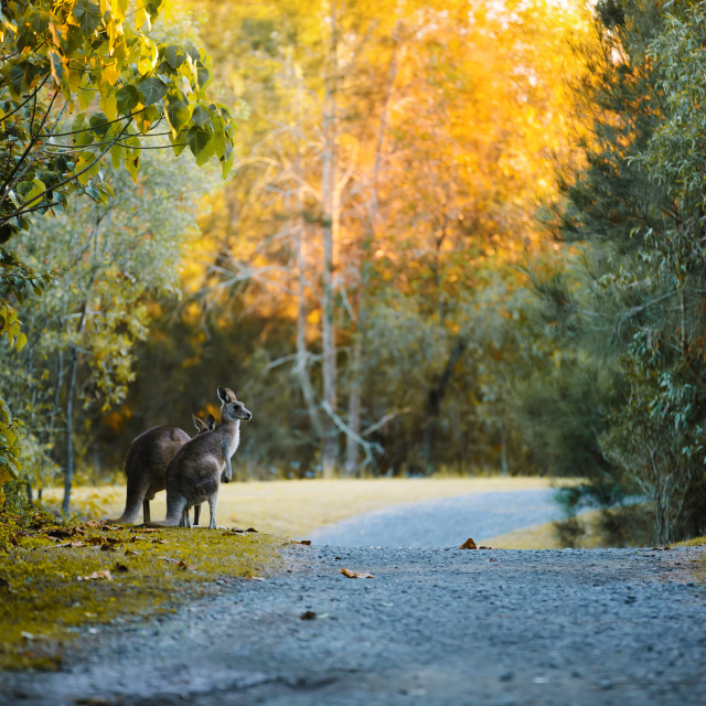 """Kangaroo Way 0320"" stock image"