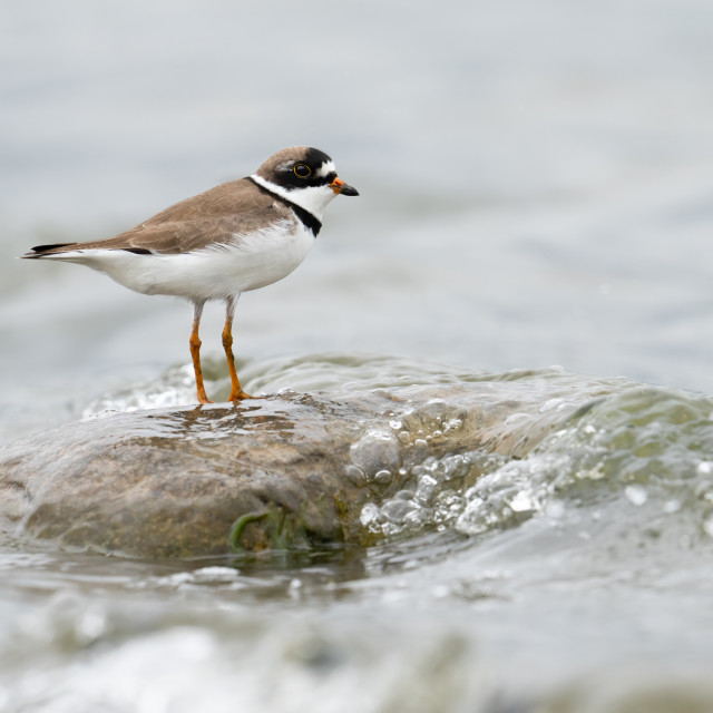"""""""Semipalmated Plover on Stone"""" stock image"""
