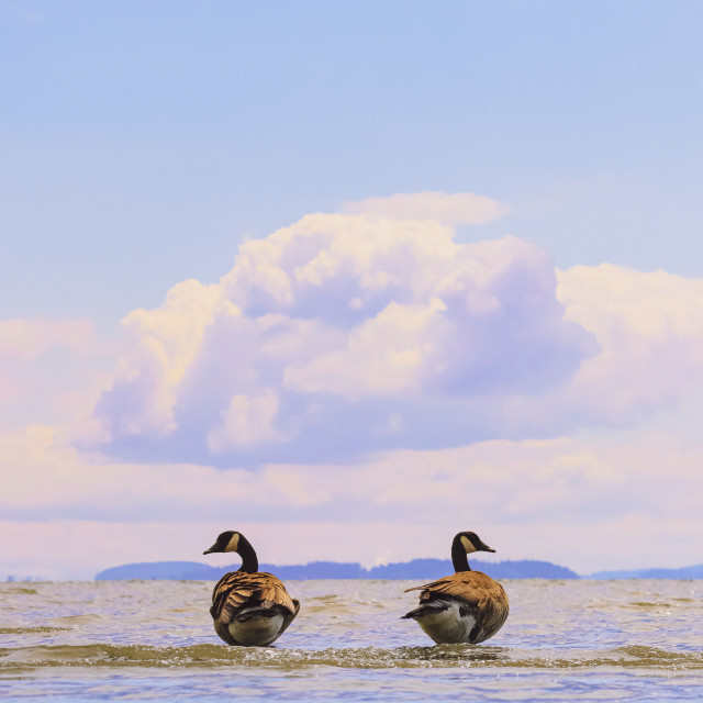 """""""Be my goose"""" stock image"""