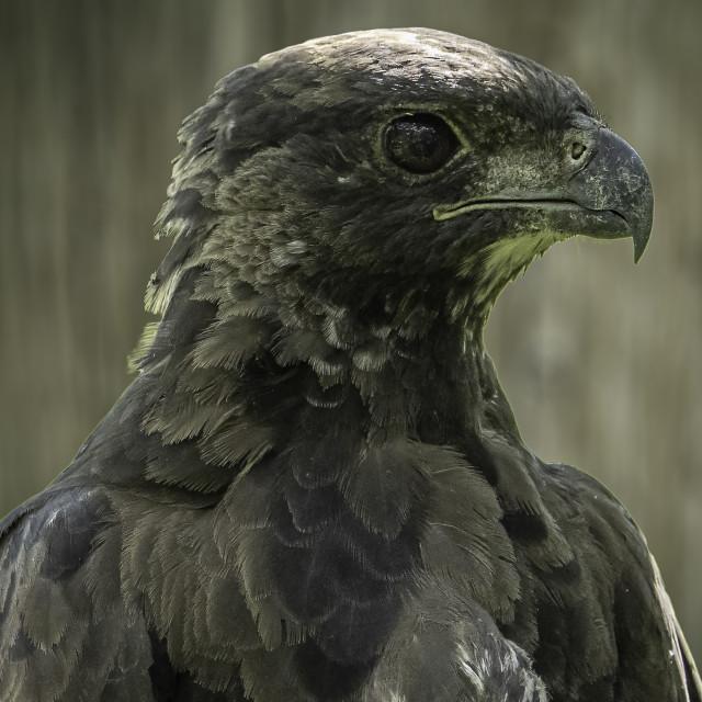 """Changeable Hawk Eagle"" stock image"