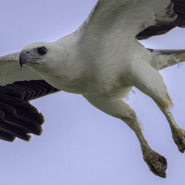 """White-bellied sea eagle"" stock image"