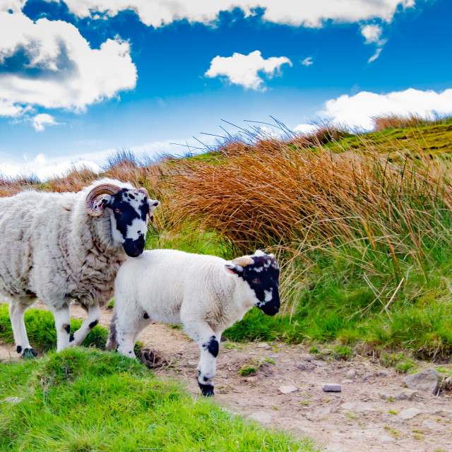 """""""Swaledale Sheep with Spring Lamb in Bronte Country."""" stock image"""
