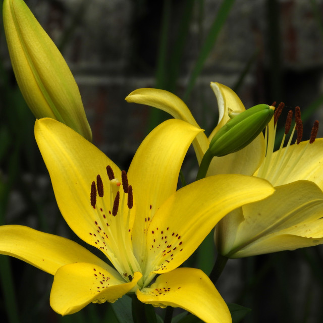 """""""Yellow Lilies group, 1 of 3"""" stock image"""