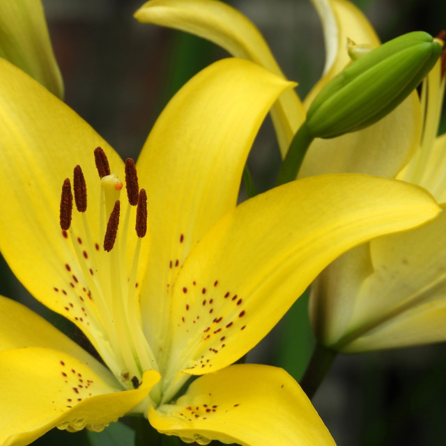 """""""Yellow Lilies group, 2 of 3"""" stock image"""