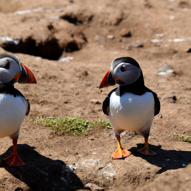 """""""A couple of Puffins"""" stock image"""
