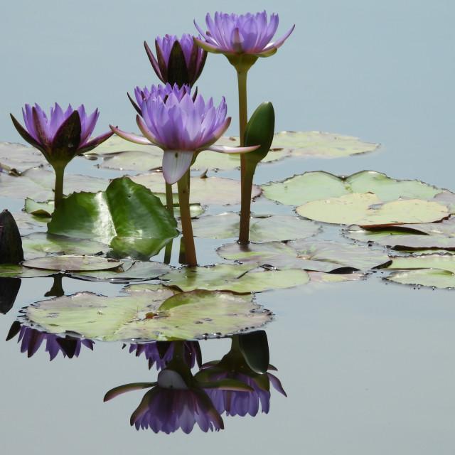 """Elegant Waterlilies"" stock image"