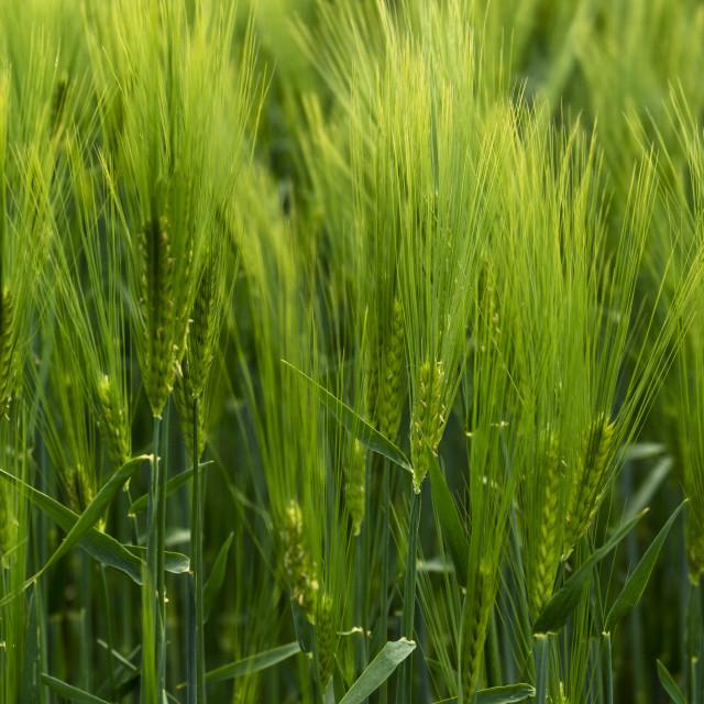 """Barley"" stock image"