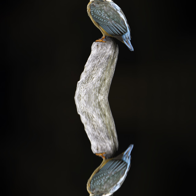 """""""reflection of the Common kingfisher"""" stock image"""