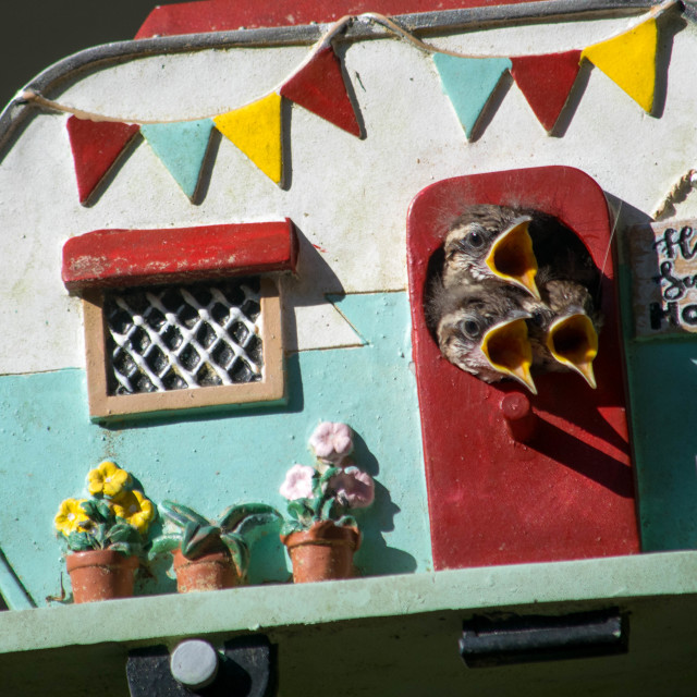 """Carolina Wren Babies in a Bird House"" stock image"