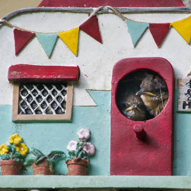 """Carolina Wren Babies - - Home, sweet Home"" stock image"