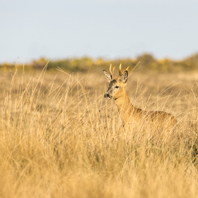 """""""Roe Deer - early morning"""" stock image"""