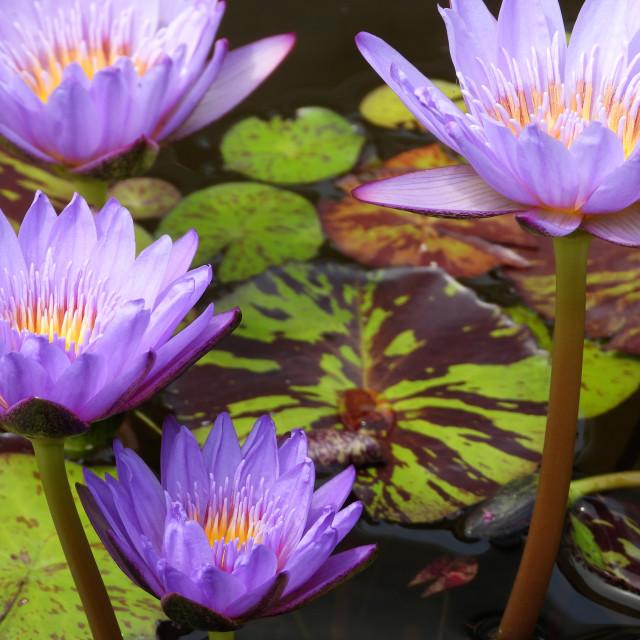 """Four Purple Waterlilies"" stock image"