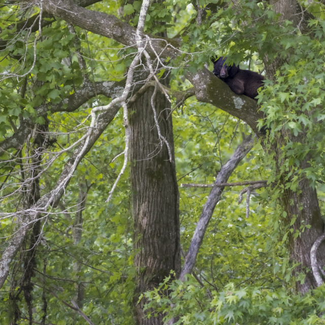 """Baby bear in habitat"" stock image"