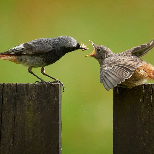 """""""Redstart feeding the young bird on the fence."""" stock image"""
