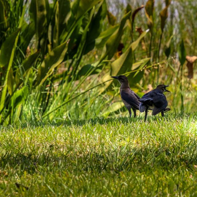 """""""Two Frustrated Black Birds Screaming"""" stock image"""