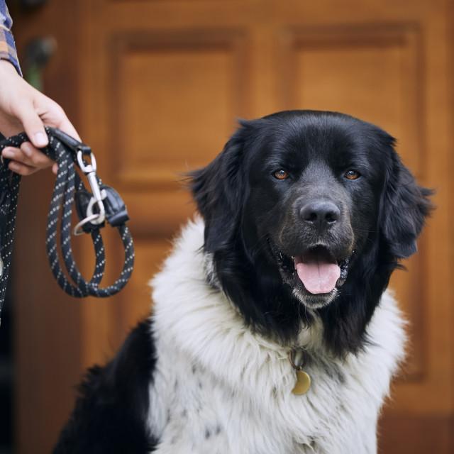"""""""Pet owner preparing his dog for walk"""" stock image"""