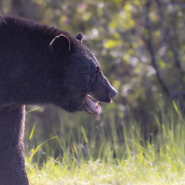 """Big Black Bear"" stock image"