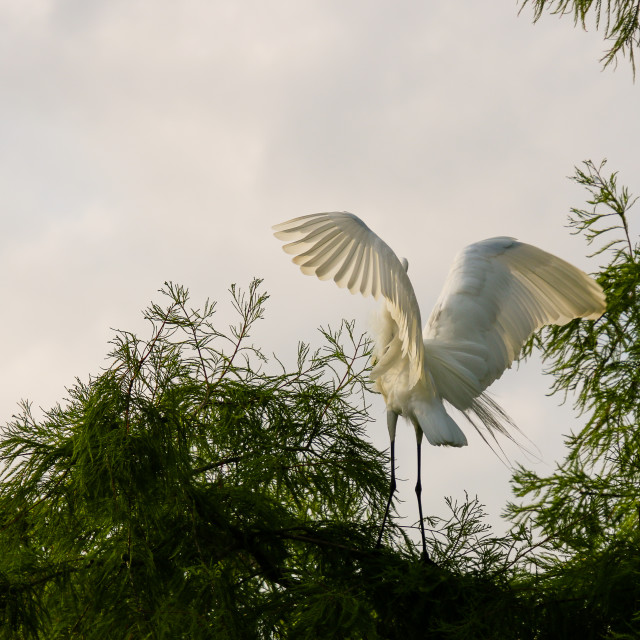 """""""On A Tree Branch Stands A Great Egret Bird with Wings Spread"""" stock image"""
