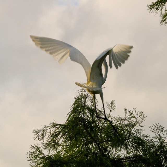 """""""Great Egret Strutting Its Stuff With Wings Spread"""" stock image"""