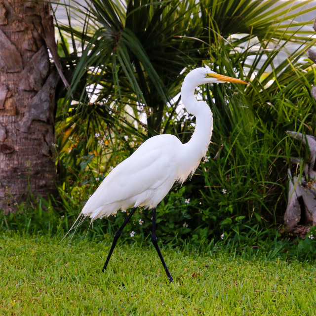 """""""Great Egret Between two Palm trees"""" stock image"""