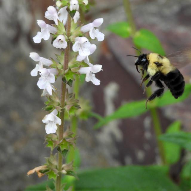 """""""Nehe Kuhiwa with Flying Bee"""" stock image"""