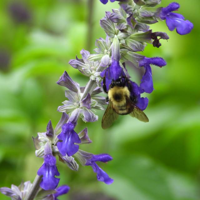 """Purple Sage with Bee"" stock image"