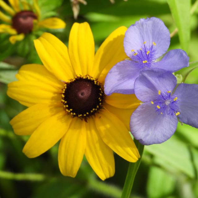 """Black-eyed Susan with Confederate Spiderwort"" stock image"