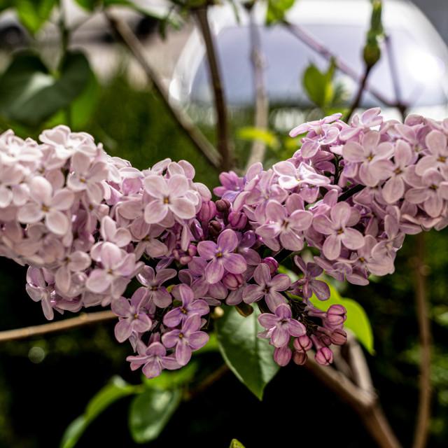 """Lilac angel"" stock image"